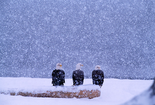 BRD 02 TL0029 01 © Kimball Stock Three Bald Eagles Sitting Together In Snow