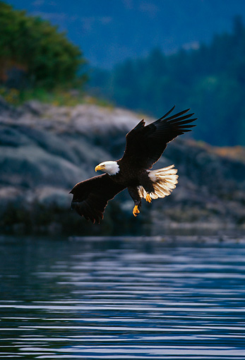 BRD 02 TL0037 01 © Kimball Stock Bald Eagle Swooping Down For Fish