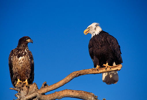 BRD 02 TL0039 01 © Kimball Stock Adult And Young Bald Eagle Sitting On Branch