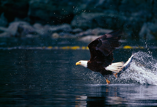 BRD 02 TL0040 01 © Kimball Stock Bald Eagle Fishing For Salmon Above Water