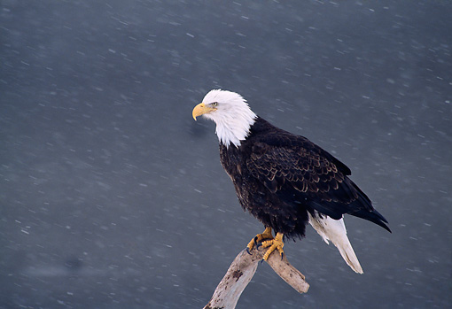 BRD 02 TL0042 01 © Kimball Stock Profile Of Bald Eagle Perching On Branch In Snowfall