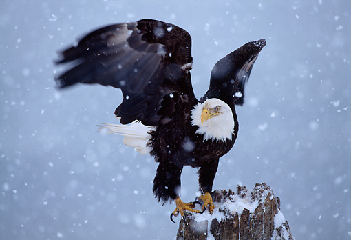 BRD 02 TL0044 01 © Kimball Stock Bald Eagle Leaving Perch In Snowfall