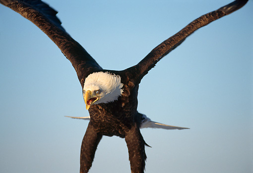BRD 02 TL0048 01 © Kimball Stock Close Up Of Bald Eagle Landing With Blue Sky Background