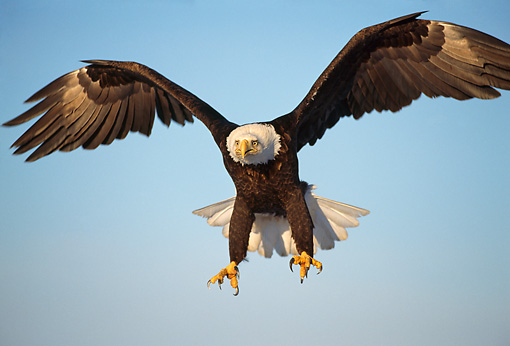 BRD 02 TL0049 01 © Kimball Stock Bald Eagle Landing With Blue Sky Background