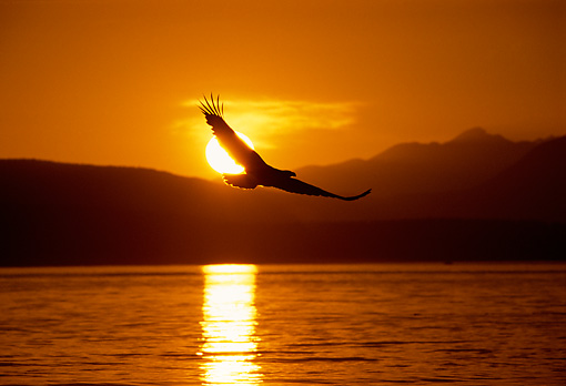 BRD 02 TL0050 01 © Kimball Stock Silhouette Of Bald Eagle Flying Over Lake At Sunrise