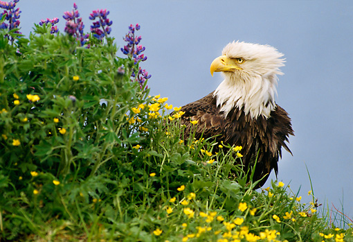 BRD 02 TL0051 01 © Kimball Stock Profile Head Shot Of Bald Eagle Sitting On Mountainside With Wildflowers