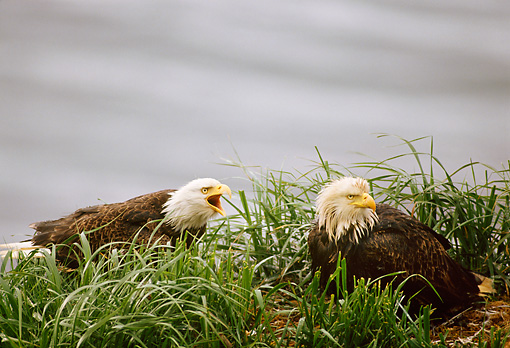 BRD 02 TL0052 01 © Kimball Stock Bald Eagle Screeching At Another Sitting In Grass Overcast