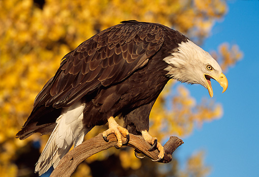 BRD 02 TL0054 01 © Kimball Stock Bald Eagle Screeching From Branch With Autumn Trees And Blue Sky