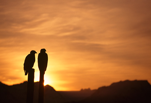 BRD 02 TL0056 01 © Kimball Stock Silhouette Of Two Bald Eagles Perching On Posts At Sunrise