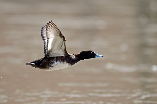 BRD 03 AC0028 01 © Kimball Stock Tufted Duck Flying In Germany
