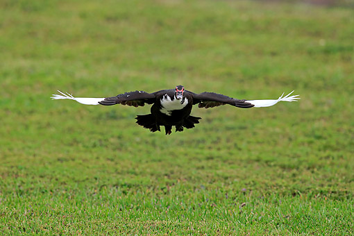 BRD 03 AC0029 01 © Kimball Stock Muscovy Duck Flying Low Over Grass, Miami, Florida, USA
