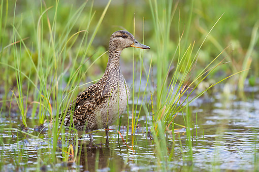 BRD 03 AC0030 01 © Kimball Stock Green-Winged Teal Standing In Water, Finland