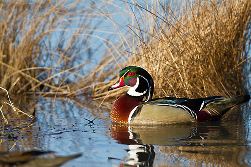 BRD 03 DA0006 01 © Kimball Stock Wood Duck Male Wading In Wetland, Illinois