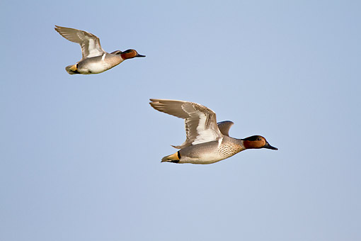BRD 03 DA0010 01 © Kimball Stock Two Green-Winged Teal Males In Flight