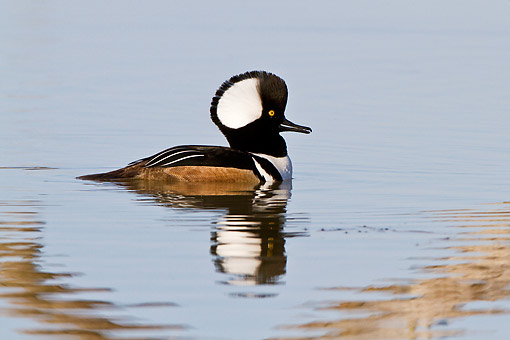 BRD 03 DA0013 01 © Kimball Stock Hooded Merganser Male Wading In Wetland, Illinois