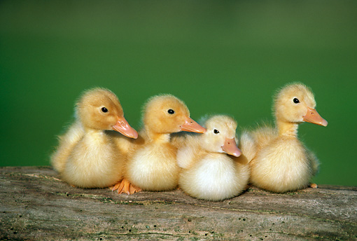 BRD 03 GR0030 01 © Kimball Stock Four Ducklings Sitting In A Row On Log