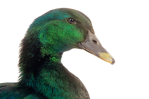 BRD 03 JE0002 01 © Kimball Stock Head Shot Of Cayuga Duck On White Seamless