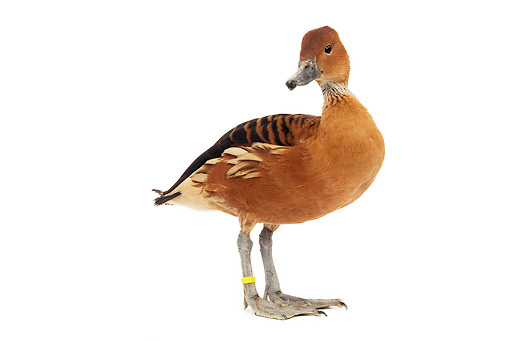 BRD 03 JE0007 01 © Kimball Stock Lesser (or Indian) Whistling Duck Standing On White Seamless