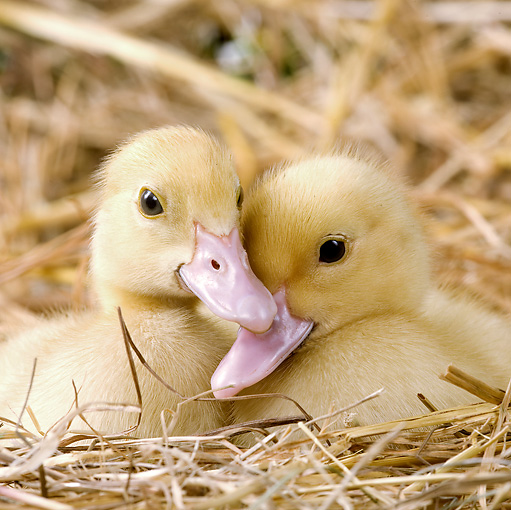 BRD 03 JE0010 01 © Kimball Stock Close-Up Of Two Ducklings Sitting In Hay