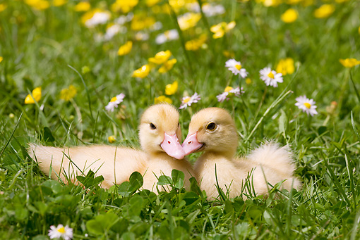 BRD 03 JE0011 01 © Kimball Stock Two Ducklings Sitting On Lawn By Yellow And White Flowers