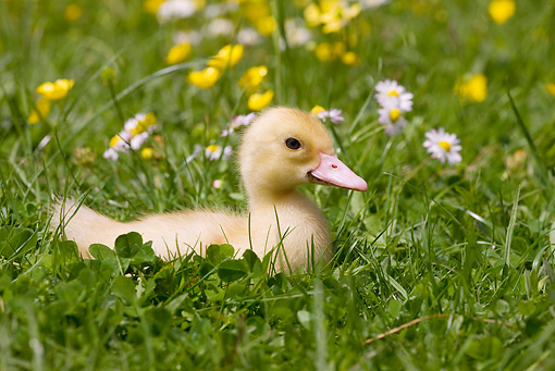 BRD 03 JE0012 01 © Kimball Stock Duckling Sitting On Lawn By Yellow And White Flowers