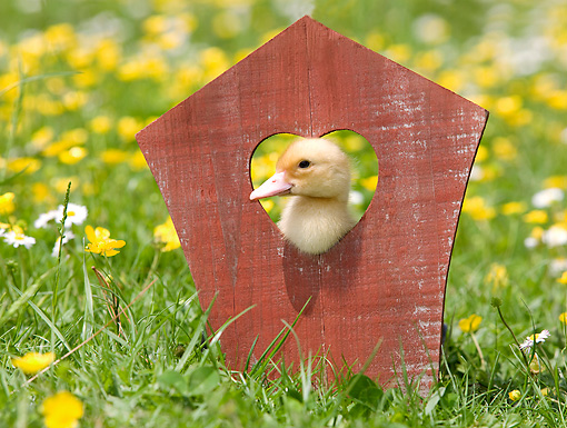 BRD 03 JE0013 01 © Kimball Stock Duckling Looking Through Wooden Heart On Lawn By Yellow And White Flowers