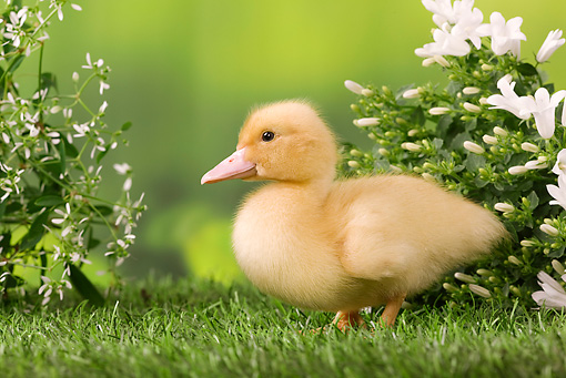 BRD 03 JE0018 01 © Kimball Stock Duckling Standing On Lawn By White Blossoms