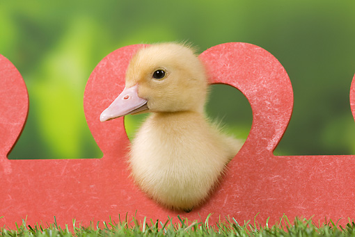 BRD 03 JE0020 01 © Kimball Stock Duckling Sitting In Heart On Lawn