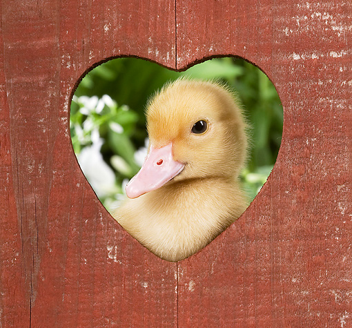 BRD 03 JE0021 01 © Kimball Stock Duckling Looking Through Wooden Heart
