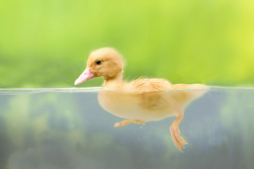 BRD 03 JE0026 01 © Kimball Stock Portrait Of Duckling Swimming In Pool