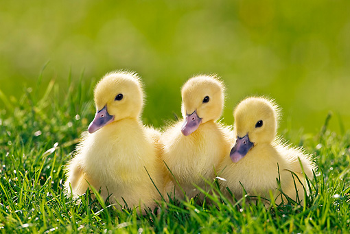 BRD 03 KH0023 01 © Kimball Stock Three Ducklings Sitting On Grass