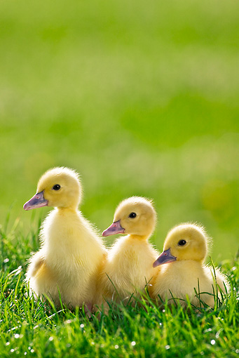 BRD 03 KH0026 01 © Kimball Stock Three Ducklings Sitting On Grass