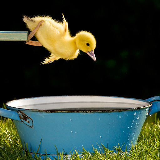BRD 03 KH0029 01 © Kimball Stock Duckling Jumping Off Diving Board Into Tub