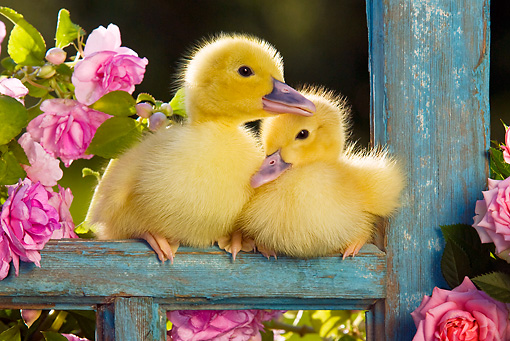 BRD 03 KH0030 01 © Kimball Stock Two Ducklings Sitting On Old Window Frame By Pink Impatiens