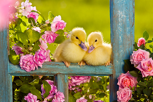 BRD 03 KH0031 01 © Kimball Stock Two Ducklings Sitting On Old Window Frame By Pink Impatiens