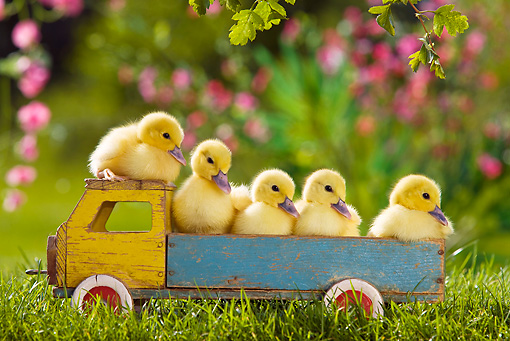 BRD 03 KH0032 01 © Kimball Stock Five Ducklings Sitting On Old Wooden Toy Truck
