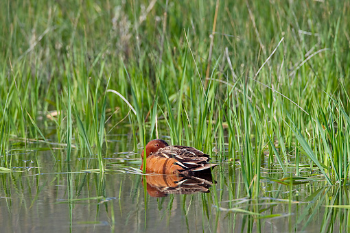 BRD 03 KH0035 01 © Kimball Stock Cinnamon Teal Wading In Pond With Tall Grass