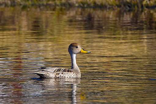 BRD 03 KH0039 01 © Kimball Stock Chilean Pintail Swimming In Lake Tierra Del Fuego National Park Argentina