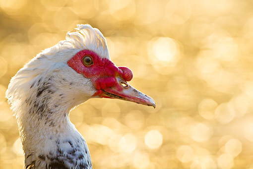 BRD 03 KH0041 01 © Kimball Stock Head Shot Of Muscovy Duck Male Alsace, France