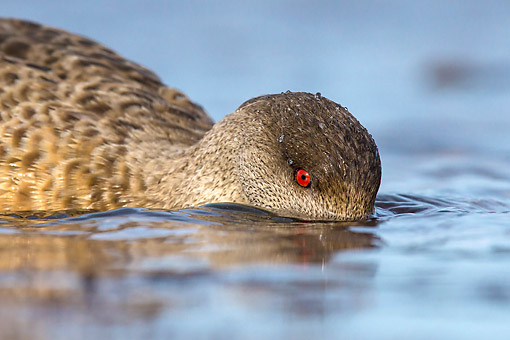 BRD 03 KH0045 01 © Kimball Stock Close-Up Of Crested Duck Searching Water At Low Tide In Falkland Islands