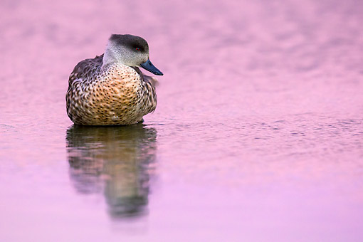 BRD 03 KH0046 01 © Kimball Stock Crested Duck Wading In Water At Dusk In Falkland Islands