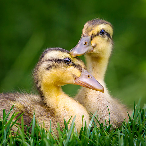 BRD 03 KH0049 01 © Kimball Stock Indian Runner Ducklings Sitting In Grass In France