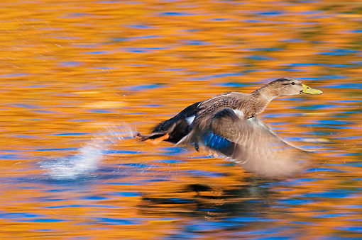 BRD 03 TK0011 01 © Kimball Stock American Black Duck Flying Over Water