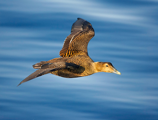 BRD 03 WF0002 01 © Kimball Stock Common Eider Female In Flight Over Water