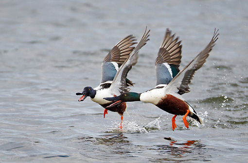 BRD 03 WF0007 01 © Kimball Stock Two Northern Shoveler Drakes Taking Off From Surface Of Sea