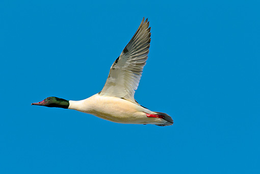 BRD 03 WF0011 01 © Kimball Stock Common Merganser Male In Flight Against Blue Sky
