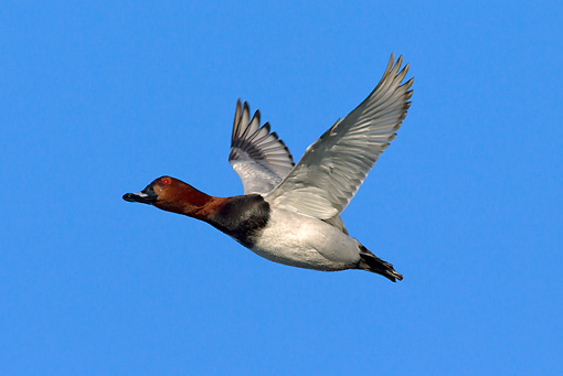 BRD 03 WF0013 01 © Kimball Stock Common Pochard Drake In Flight Against Blue Sky