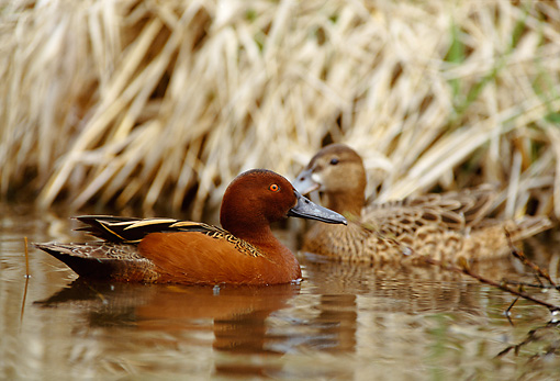 BRD 03 DB0001 01 © Kimball Stock Cinnamon Teal Drake And Hen Swimming In Marsh