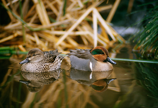 BRD 03 DB0004 01 © Kimball Stock Green-winged Teal Drake And Hen Floating In Marsh