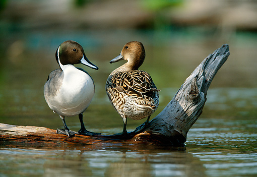 BRD 03 DB0005 01 © Kimball Stock Northern Pintail Drake And Hen Standing On Fallen Tree Over Water